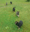 German Shepherd Dog Puppy For Sale in MIDDLEBURY, IN