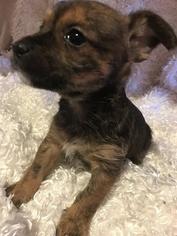 Chorkie Puppy for sale in GR, MI, USA