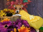 Rat Terrier Puppy For Sale in HAMMOND, IN, USA