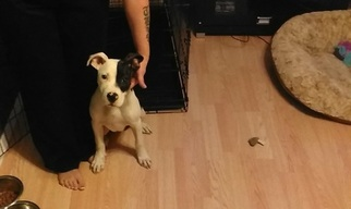 Bull Terrier Dog For Adoption in CAPE GIRARDEAU, MO, USA