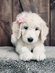 Goldendoodle-Poodle (Standard) Mix Puppy For Sale in SACRAMENTO, California,