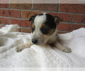 Australian Cattle Dog Puppy for sale in THREE RIVERS, MI, USA