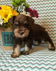 Schnauzer (Miniature) Puppy For Sale in KOSSE, TX