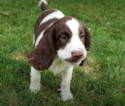 English Springer Spaniel Puppy For Sale in ROMULUS, MI, USA