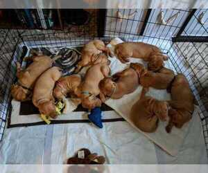 Vizsla Puppy for sale in SAINT HELENS, OR, USA