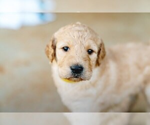 Goldendoodle Puppy for Sale in HUNTSVILLE, Alabama USA
