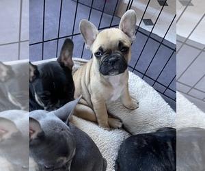 French Bulldog Puppy for Sale in GAINESVILLE, Georgia USA