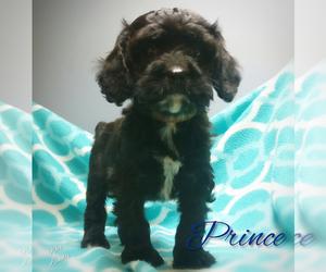 Cavapoo Puppy for sale in LEBANON, PA, USA