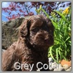 Labradoodle Puppy For Sale in BEAVERCREEK, OR, USA