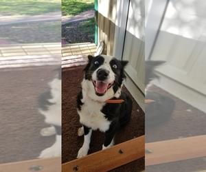 Border-Aussie Puppy for Sale in GRIGGSVILLE, Illinois USA