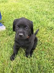 Labrador Retriever Puppy for sale in LONG VALLEY, NJ, USA