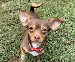 Chihuahua Mix Dog for Adoption in ATL, Georgia USA