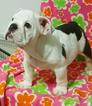 Bulldog Puppy For Sale in CHICAGO, Illinois,