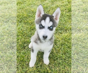 Siberian Husky Puppy for sale in ANAHEIM, CA, USA