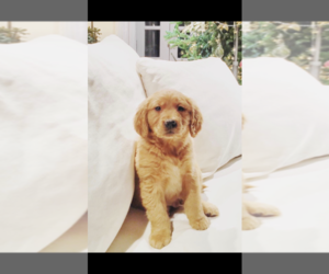 Golden Retriever Puppy for Sale in SALEM, New Hampshire USA