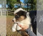 Small #5 Australian Shepherd