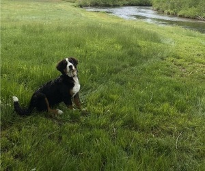 Bernese Mountain Dog Puppy for sale in ERROL, NH, USA