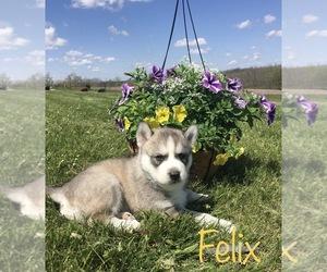Siberian Husky Puppy for Sale in DEARBORN, Missouri USA