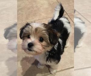 View Ad: Biewer Terrier Puppy for Sale near Florida, SARASOTA, USA