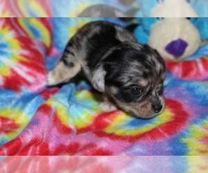 Chorkie Puppy for sale in BASTROP, LA, USA