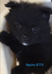 Pomeranian Puppy For Sale in RICHMOND, IN, USA