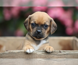 Puggle Puppy for sale in ANDERSONVILLE, VA, USA