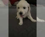 Small Photo #19 English Cream Golden Retriever Puppy For Sale in ARCHBALD, PA, USA