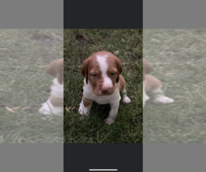 Brittany Puppy for sale in PAYETTE, ID, USA