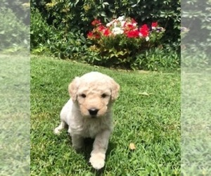 Goldendoodle Puppy for Sale in LOVELAND, Colorado USA