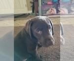 Labrador Retriever Puppy For Sale in CLOVIS, CA, USA