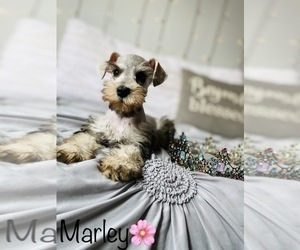 Schnauzer (Standard) Puppy for Sale in COOKEVILLE, Tennessee USA