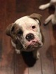 Olde English Bulldogge Dog For Adoption in JACKSONVILLE, NC, USA