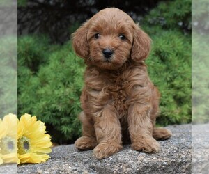 Poodle (Miniature) Puppy for sale in MILLERSTOWN, PA, USA
