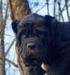 Neapolitan Mastiff Puppy For Sale in WARSAW, IN, USA