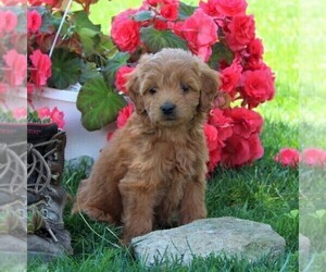 Labradoodle-Poodle (Miniature) Mix Puppy for sale in CHRISTIANA, PA, USA
