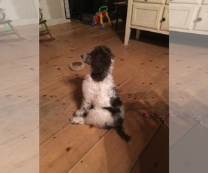 Poodle (Standard) Puppy for sale in DANIELSON, CT, USA