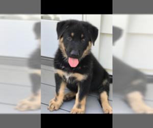 German Shepherd Dog Puppy for sale in BELLMAWR, NJ, USA