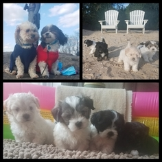 La-Chon Puppy for sale in GERMANTOWN, MD, USA