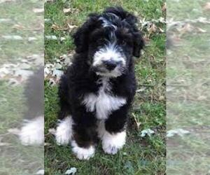 Puppyfindercom View Ad Listing Aussiedoodle Puppy For