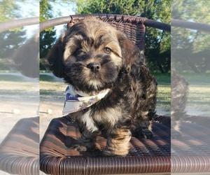 Havashu Puppy for sale in BANDERA, TX, USA