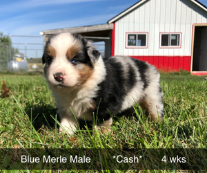 Australian Shepherd Puppy for Sale in LEBANON, Indiana USA