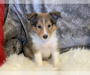 Shetland Sheepdog Puppy for sale in CHURCHVILLE, NY, USA