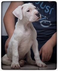 Dogo Argentino Puppy For Sale in COLLEGE STA, TX, USA