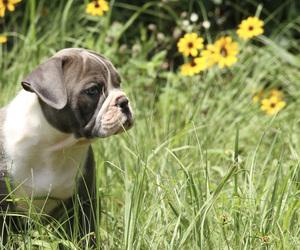 Olde English Bulldogge Puppy for Sale in LEXINGTON, Oklahoma USA