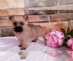 Small #4 Cairn Terrier