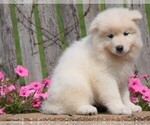 Small Samoyed