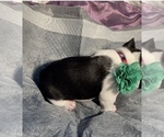 Small Photo #3 French Bulldog Puppy For Sale in SAN DIEGO, CA, USA