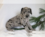 Small #1 Great Dane