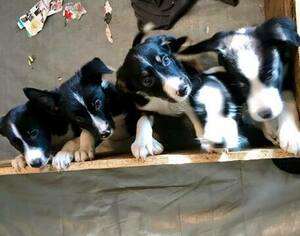 Border Collie Puppy for sale in HUTTO, TX, USA