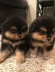 Pomeranian Puppy For Sale in JESUP, GA,